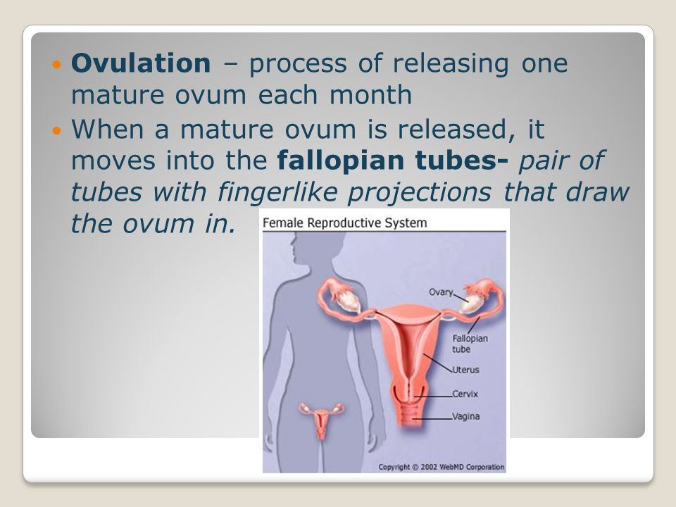 Ovulation – process of releasing one mature ovum each month