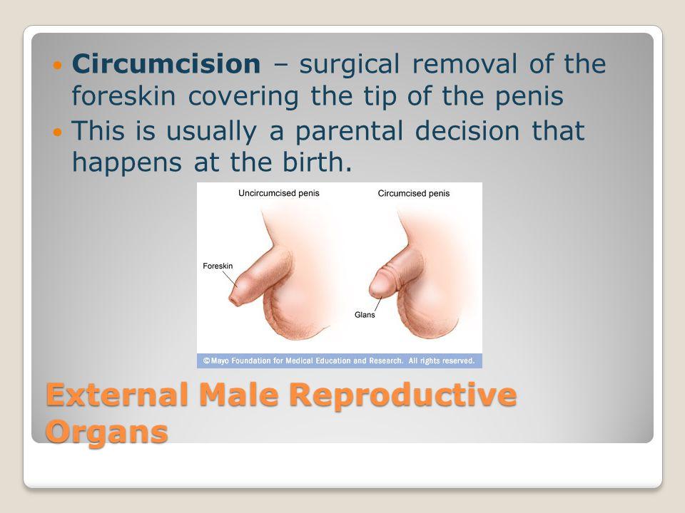 External Male Reproductive Organs