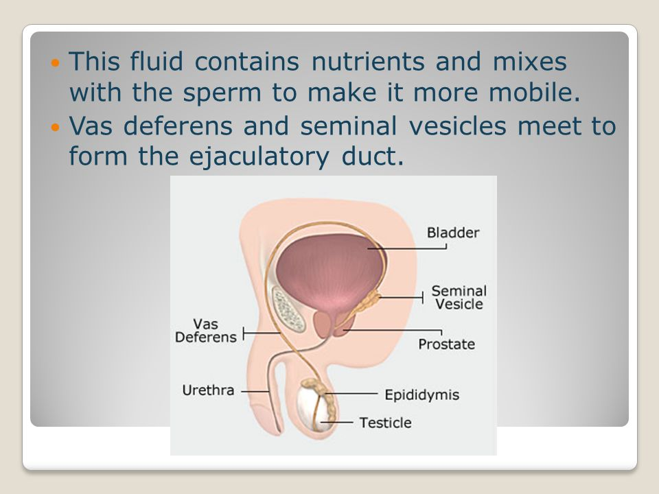 This fluid contains nutrients and mixes with the sperm to make it more mobile.