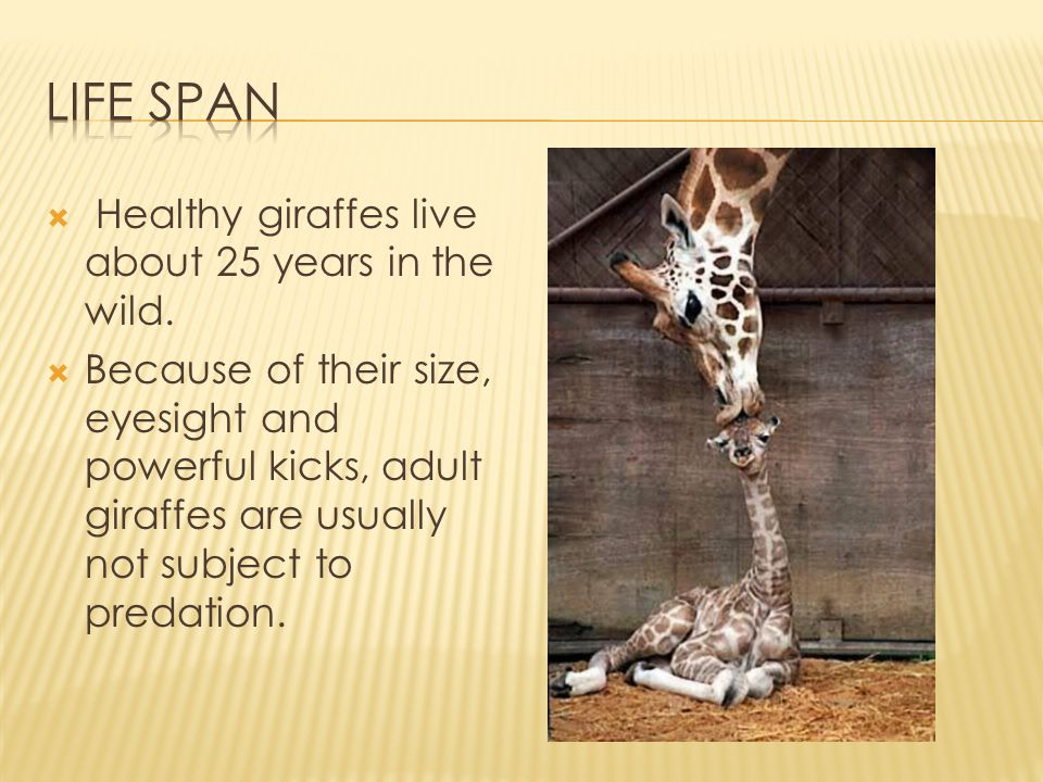 Life Span Healthy giraffes live about 25 years in the wild.