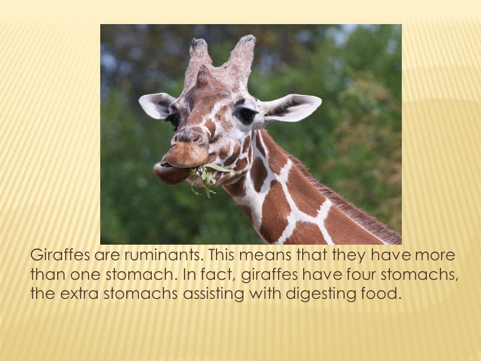 Giraffes are ruminants. This means that they have more than one stomach.
