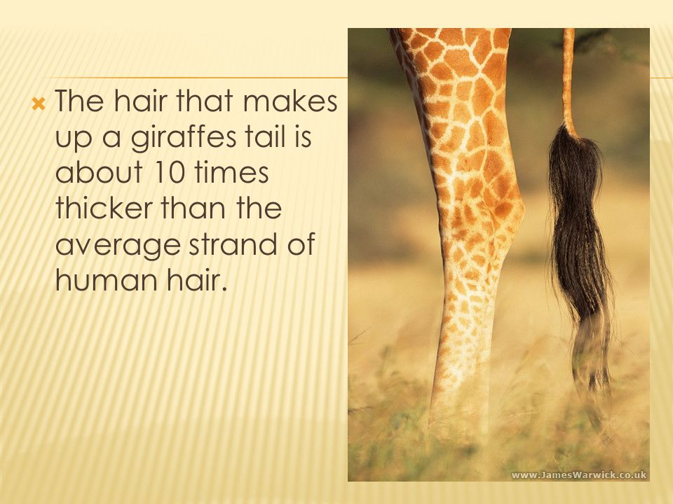 The hair that makes up a giraffes tail is about 10 times thicker than the average strand of human hair.