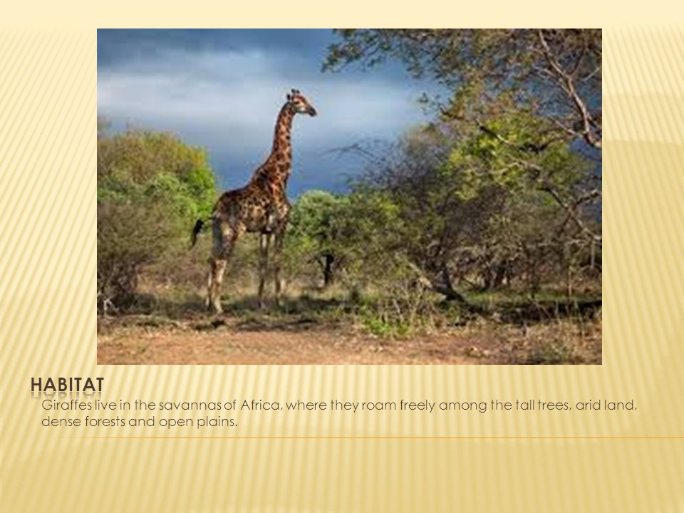 Habitat Giraffes live in the savannas of Africa, where they roam freely among the tall trees, arid land, dense forests and open plains.