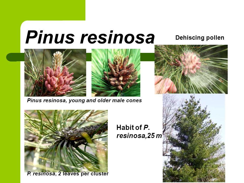 Pinus resinosa Habit of P. resinosa,25 m Dehiscing pollen