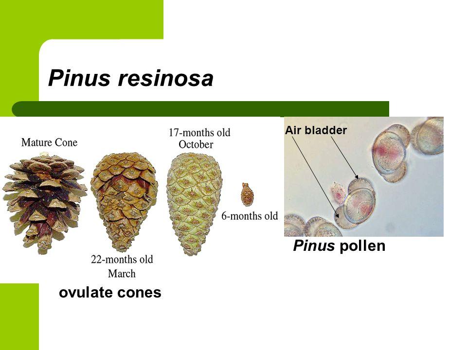 Pinus resinosa Air bladder Pinus pollen ovulate cones