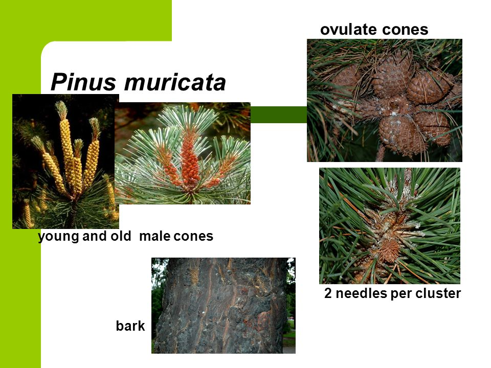 Pinus muricata ovulate cones young and old male cones