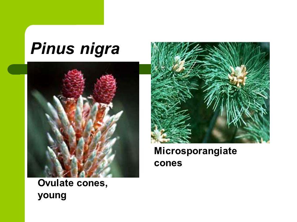 Pinus nigra Microsporangiate cones Ovulate cones, young