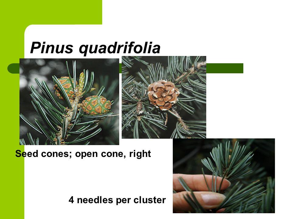 Pinus quadrifolia Seed cones; open cone, right 4 needles per cluster