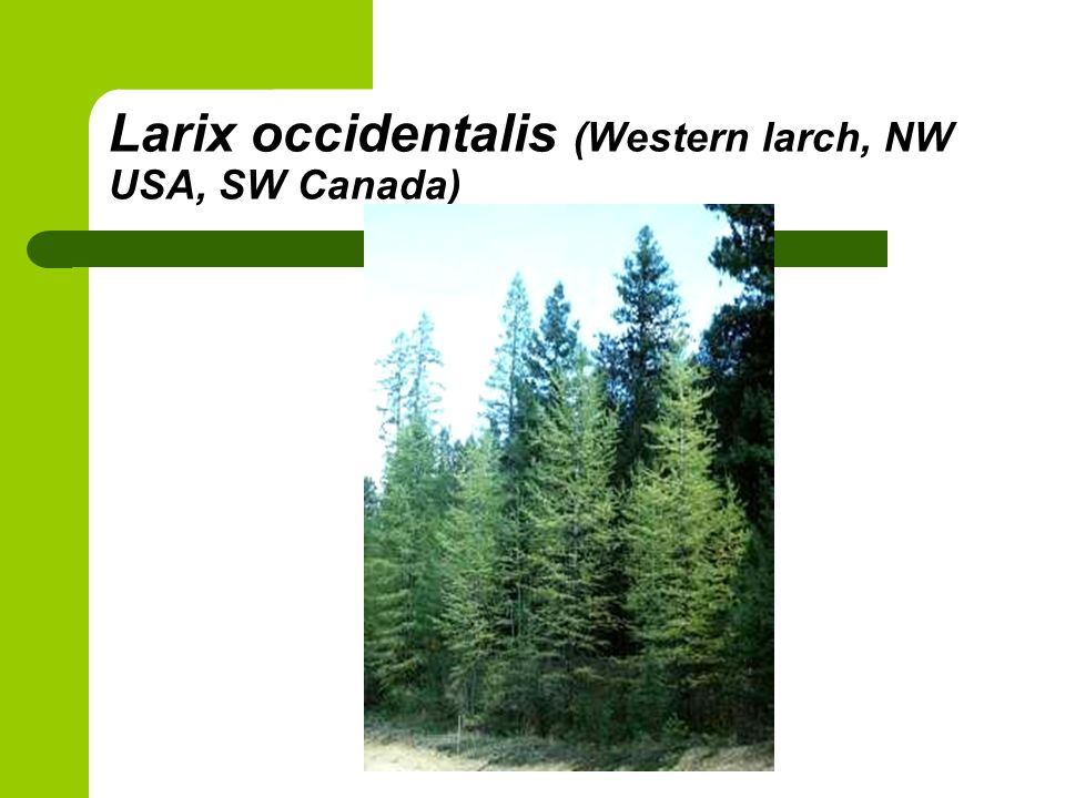 Larix occidentalis (Western larch, NW USA, SW Canada)