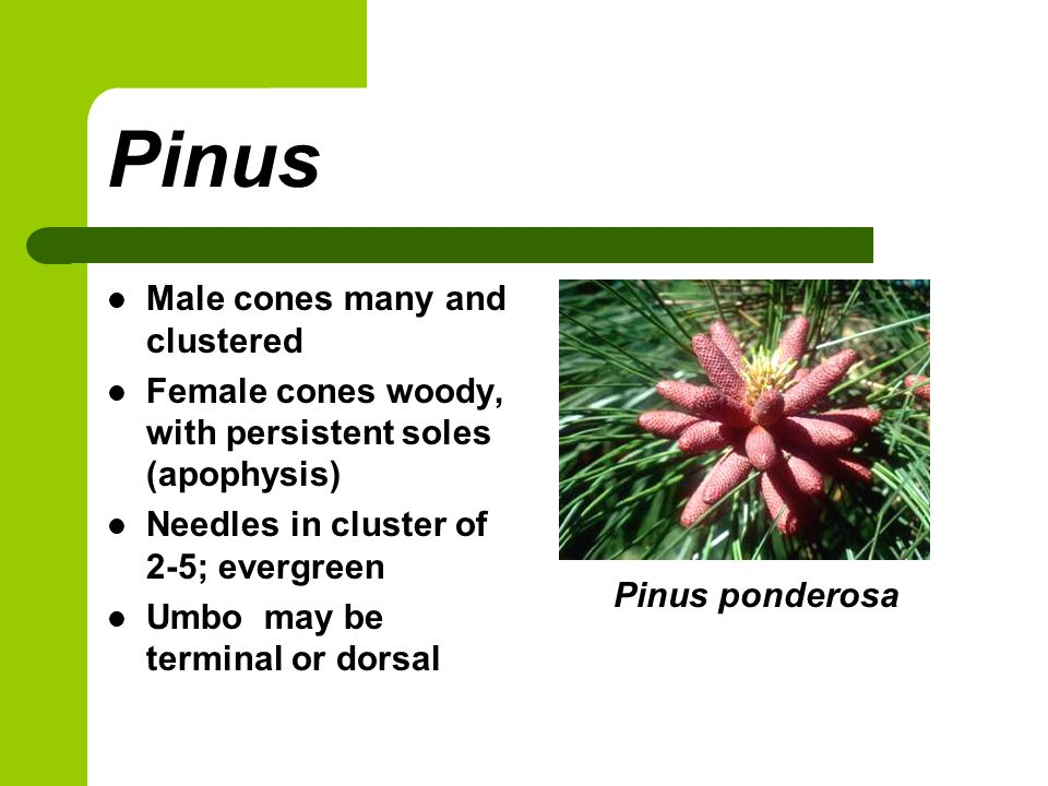 Pinus Male cones many and clustered