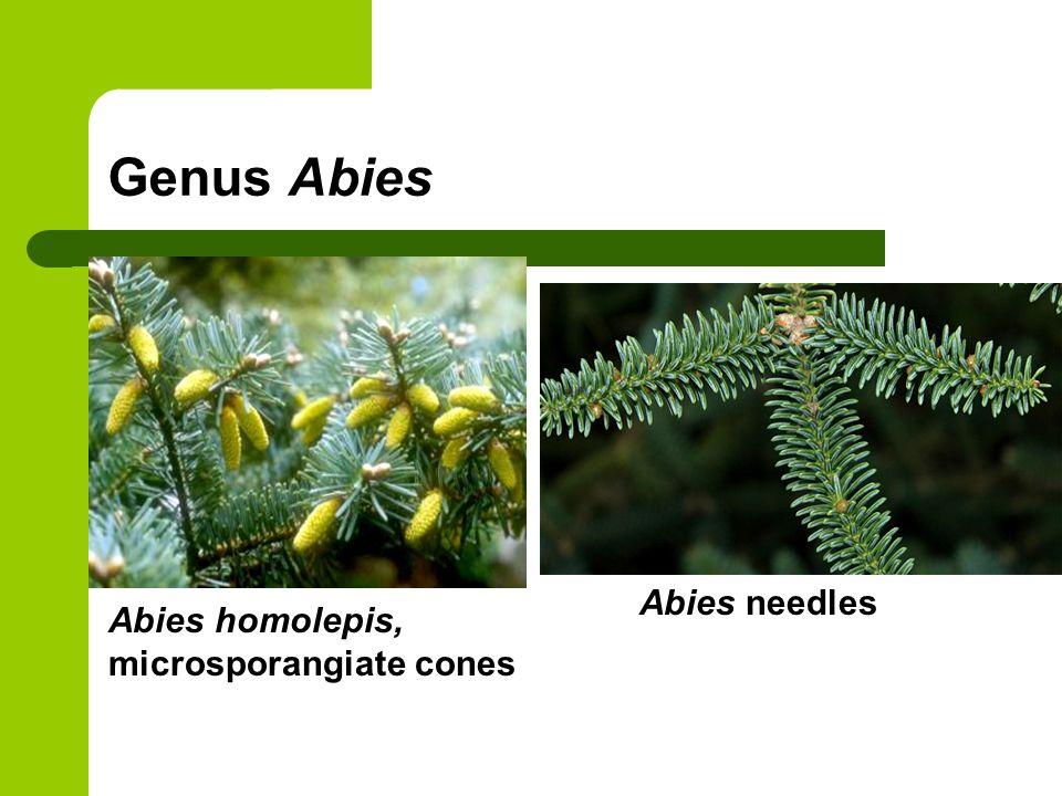 Genus Abies Abies needles Abies homolepis, microsporangiate cones