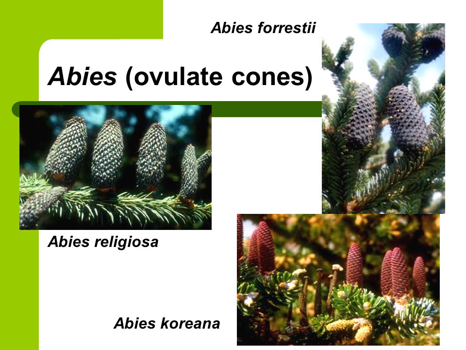 Abies forrestii Abies (ovulate cones) Abies religiosa Abies koreana
