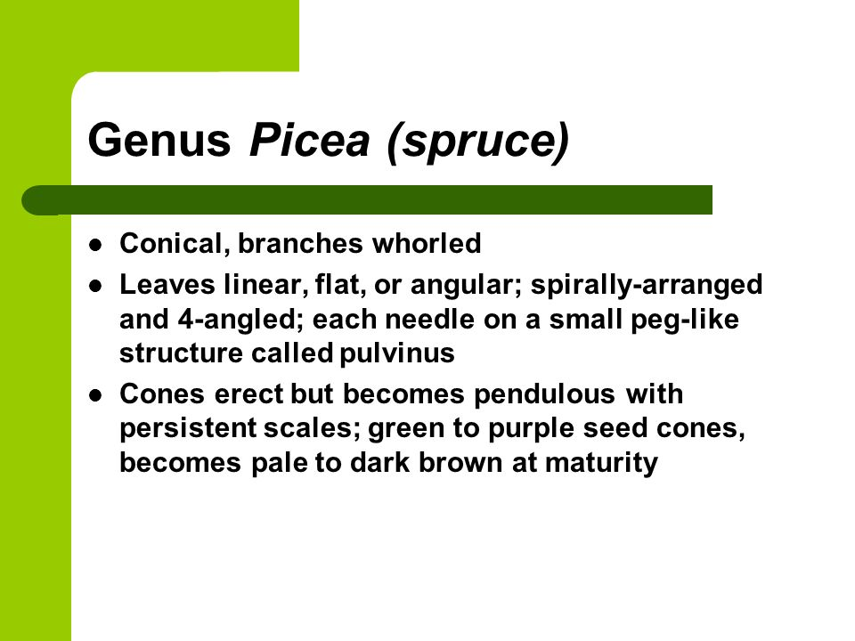 Genus Picea (spruce) Conical, branches whorled