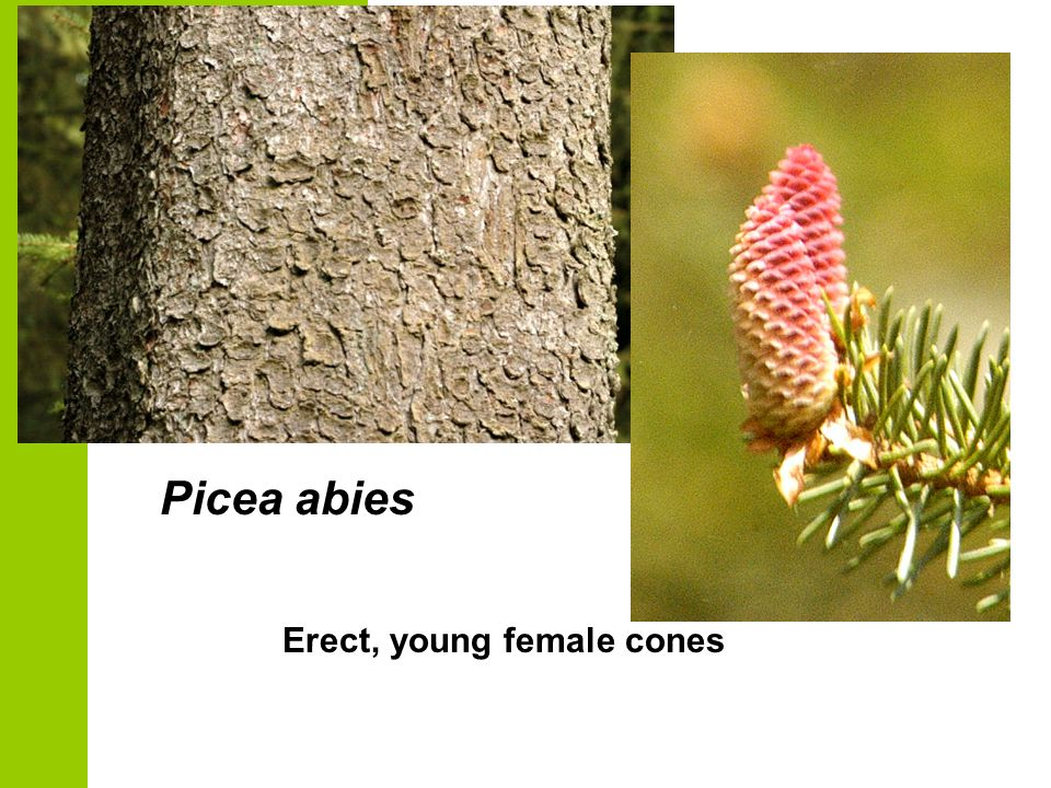 Picea abies Erect, young female cones