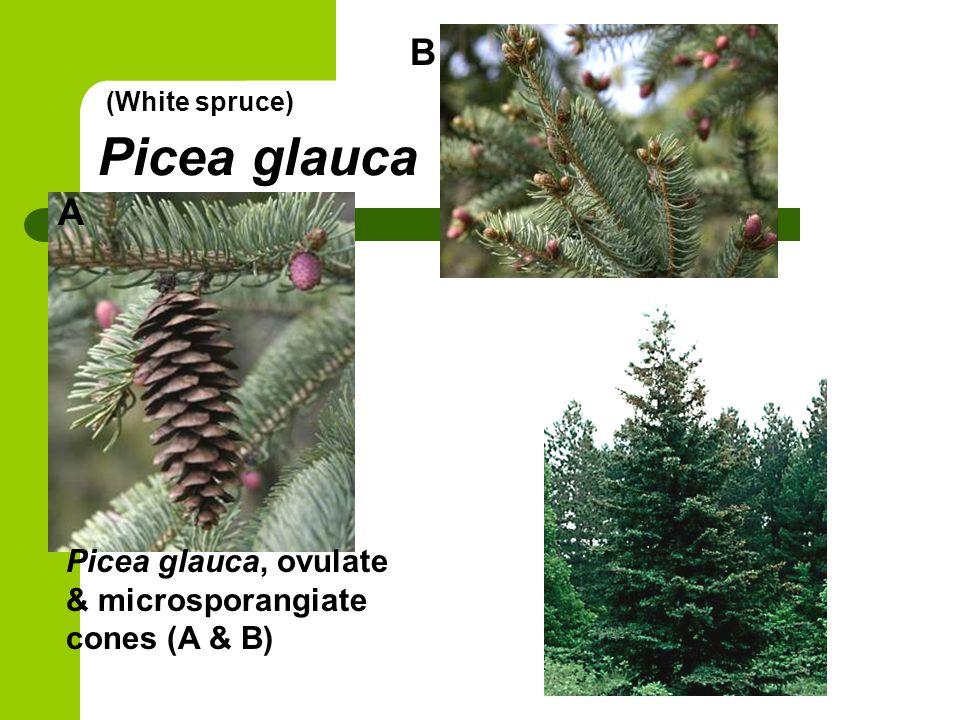 B Picea glauca (White spruce) A Picea glauca, ovulate & microsporangiate cones (A & B)