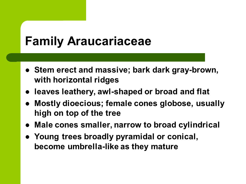 Family Araucariaceae Stem erect and massive; bark dark gray-brown, with horizontal ridges. leaves leathery, awl-shaped or broad and flat.