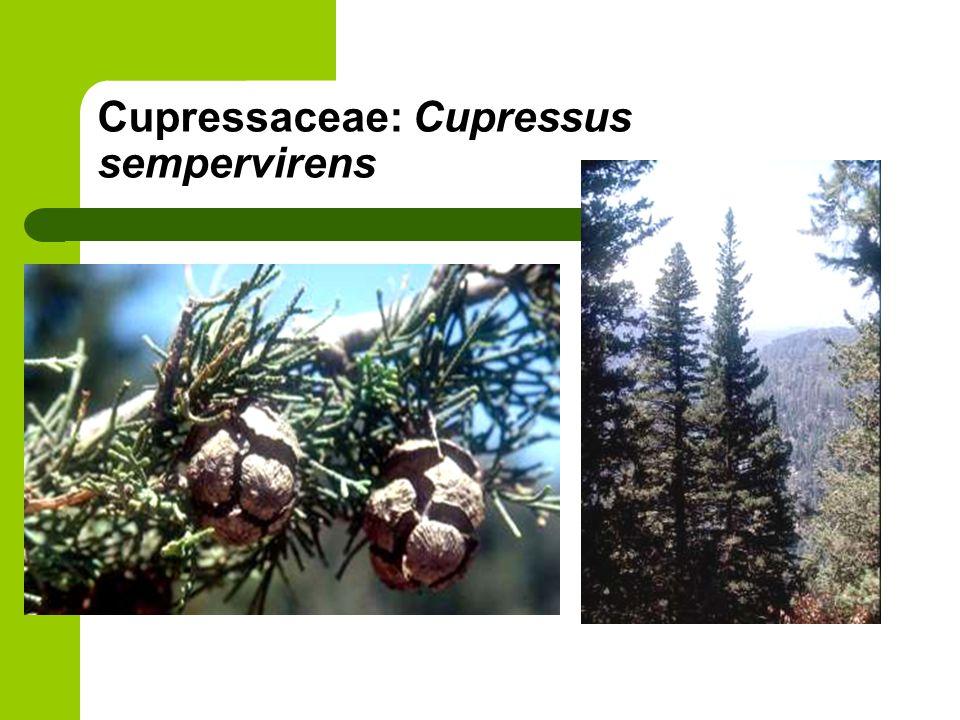 Cupressaceae: Cupressus sempervirens