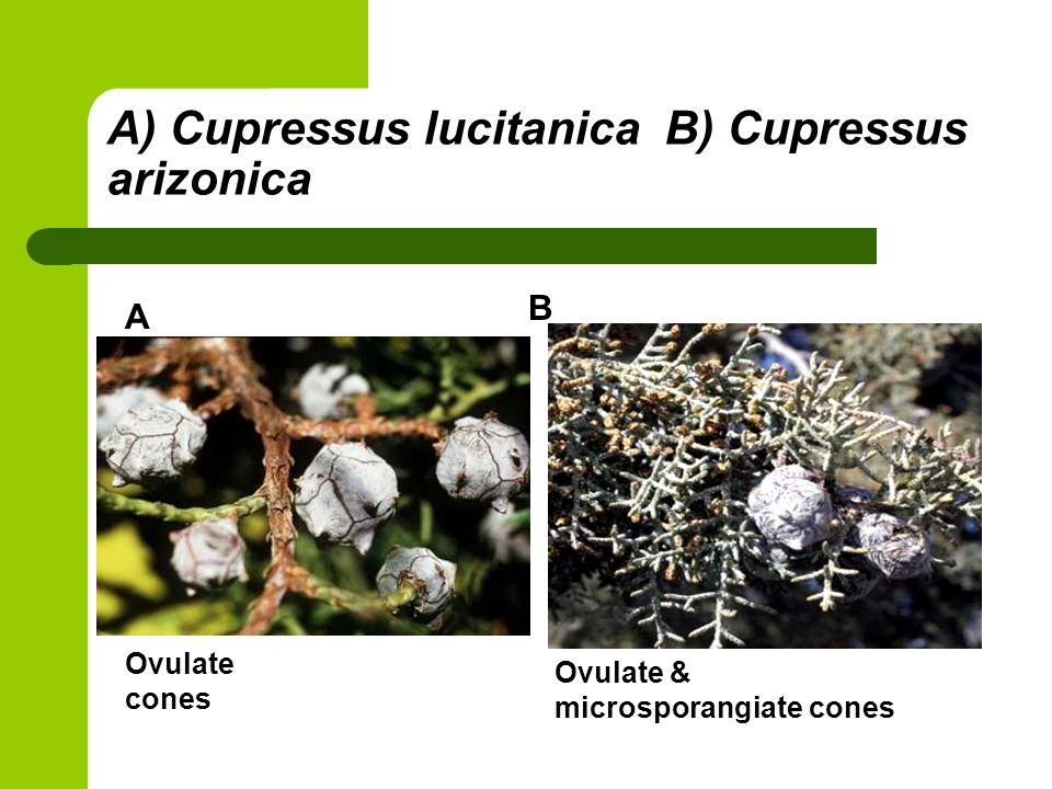 A) Cupressus lucitanica B) Cupressus arizonica