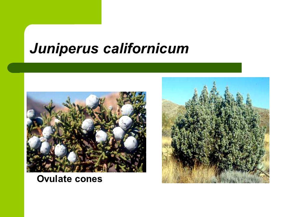 Juniperus californicum