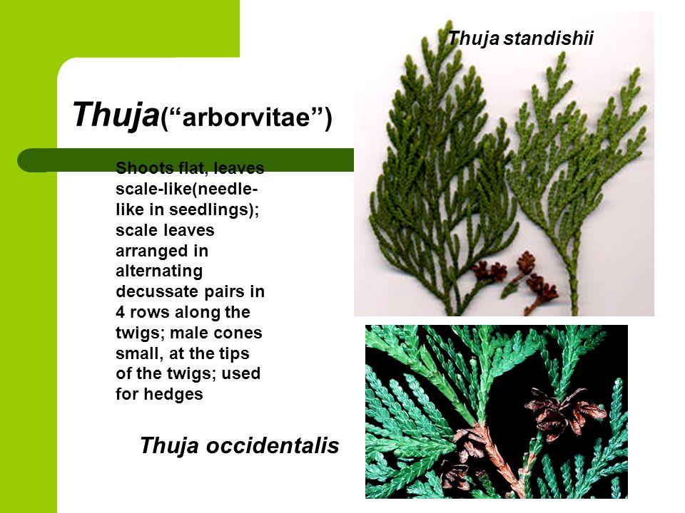 Thuja( arborvitae ) Thuja occidentalis Thuja standishii