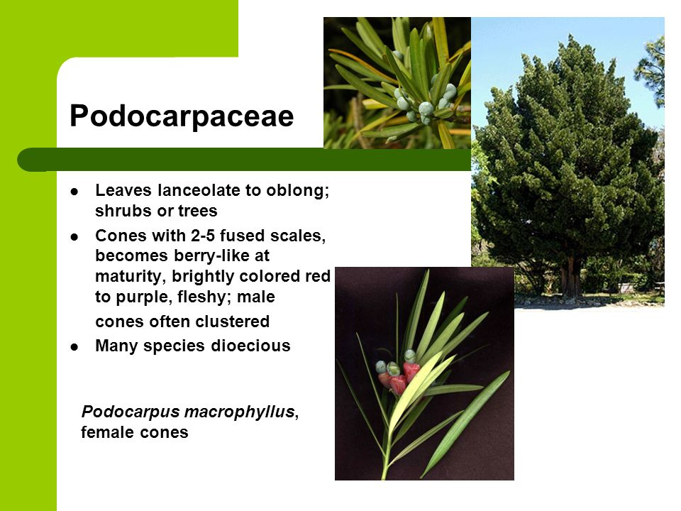 Podocarpaceae Leaves lanceolate to oblong; shrubs or trees