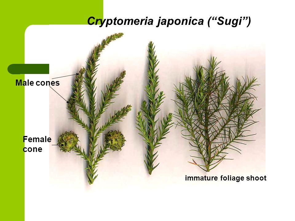 Cryptomeria japonica ( Sugi )