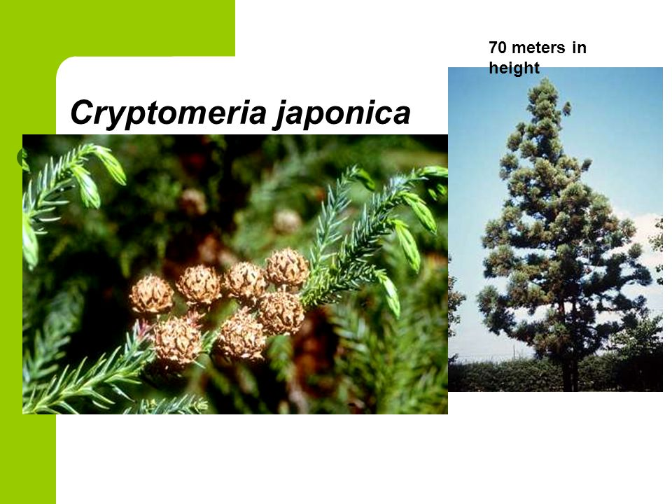70 meters in height Cryptomeria japonica