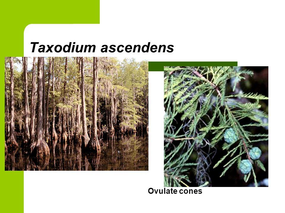 Taxodium ascendens Ovulate cones