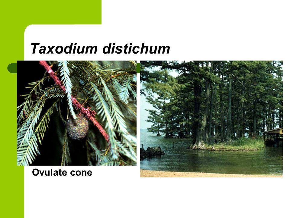 Taxodium distichum Ovulate cone