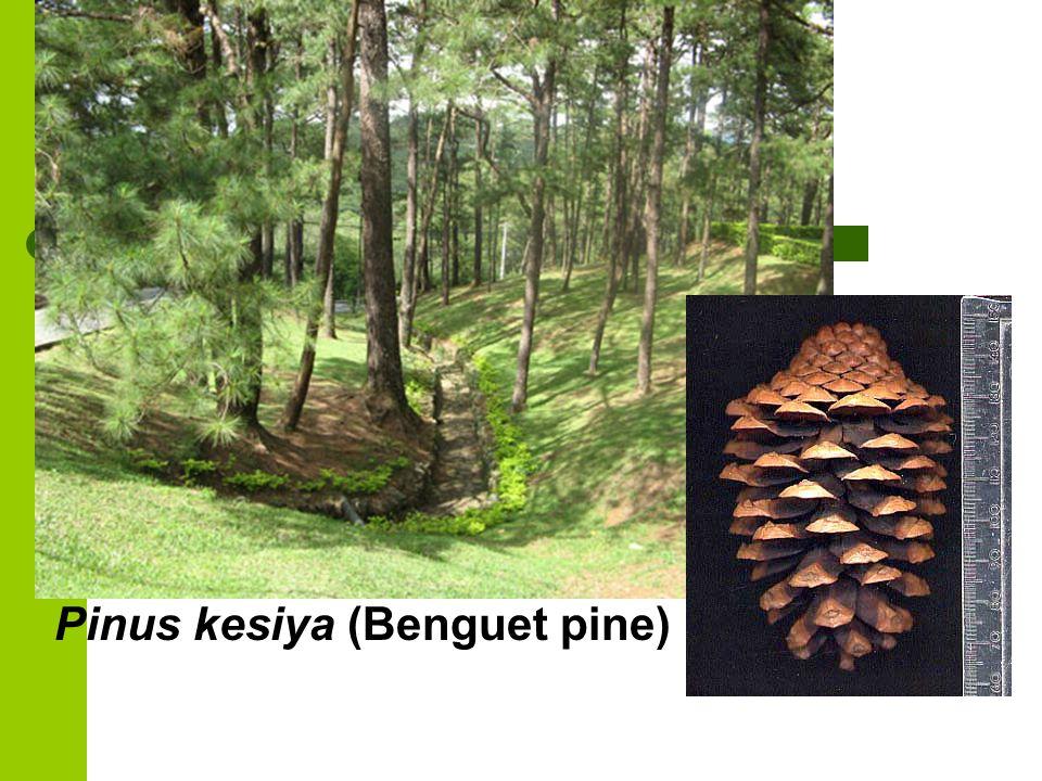 Pinus kesiya (Benguet pine)