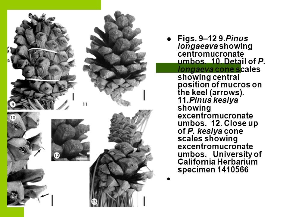 Figs. 9–12 9. Pinus longaeava showing centromucronate umbos. 10