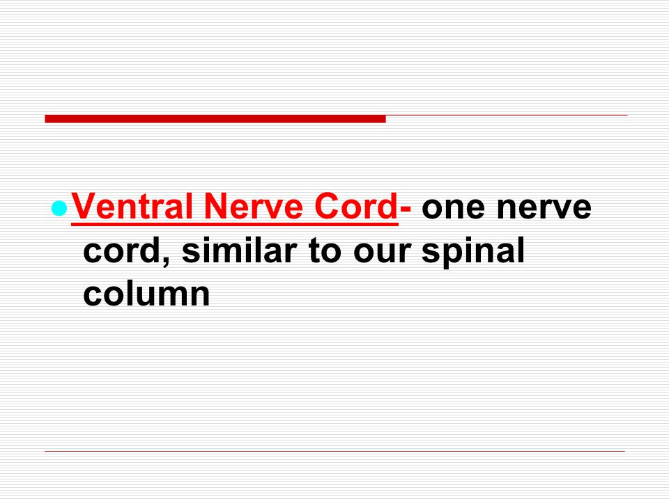●Ventral Nerve Cord- one nerve cord, similar to our spinal column