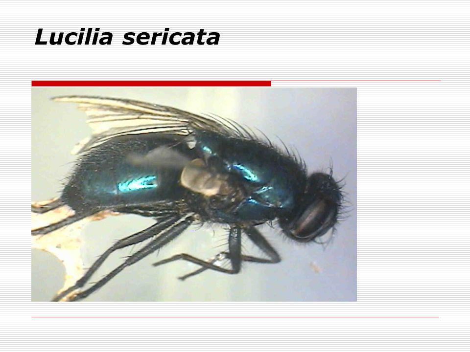 Lucilia sericata