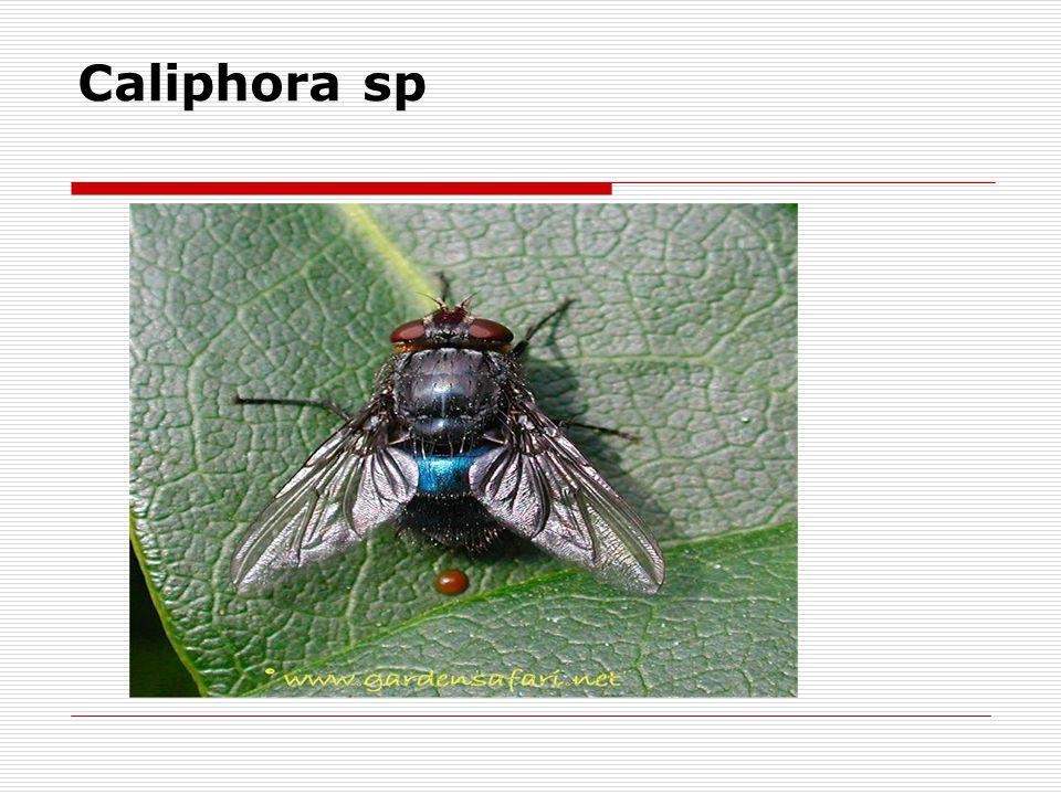 Caliphora sp