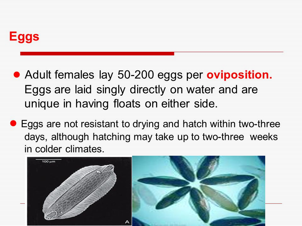 Eggs ● Adult females lay 50-200 eggs per oviposition. Eggs are laid singly directly on water and are unique in having floats on either side.