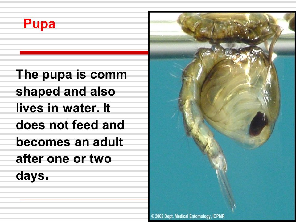 Pupa The pupa is comm shaped and also lives in water. It