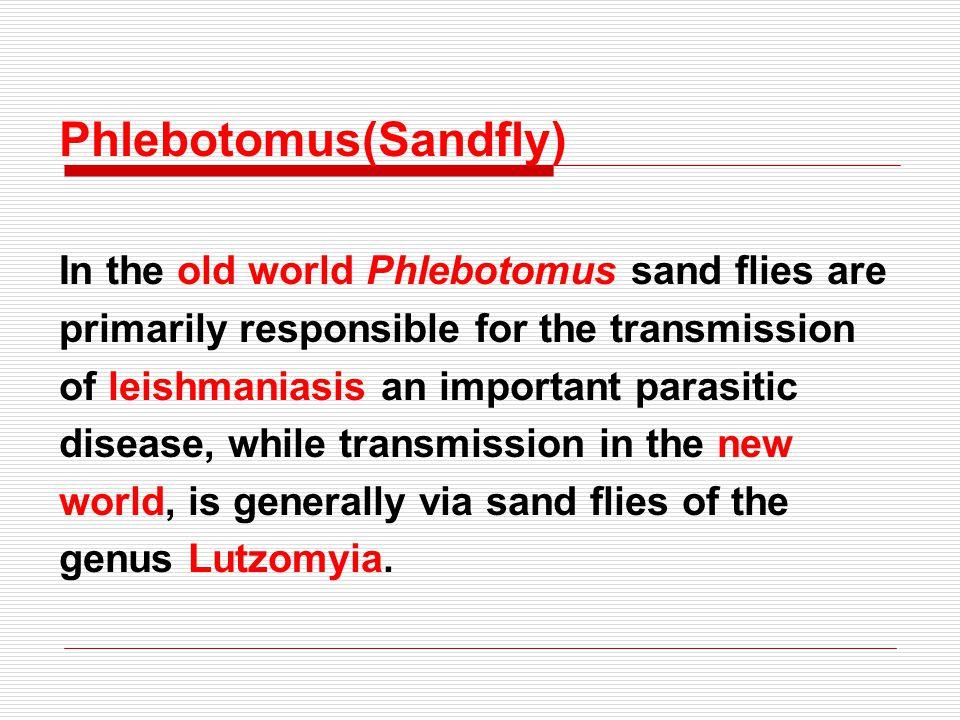 Phlebotomus(Sandfly)