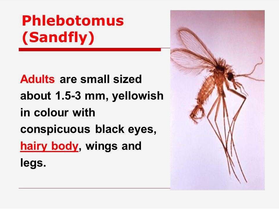 Phlebotomus (Sandfly)