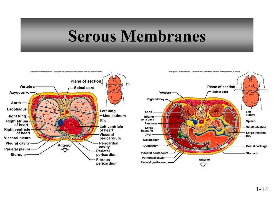Serous Membranes 1-14
