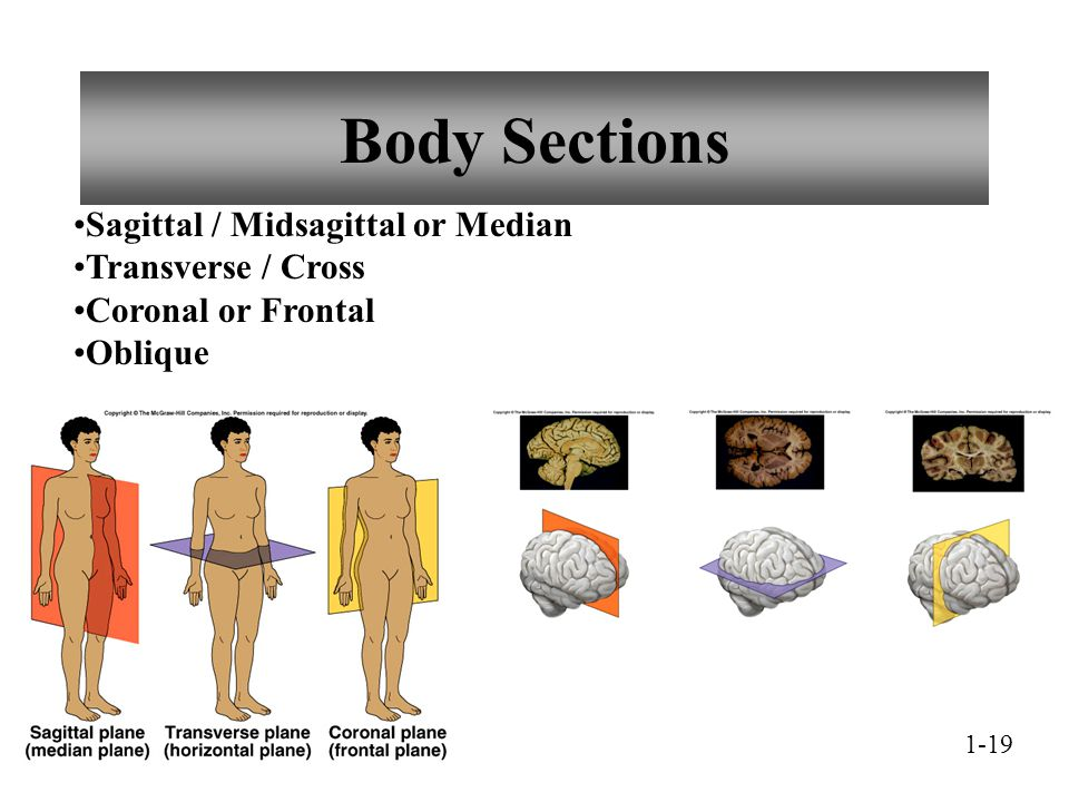 Body Sections Sagittal / Midsagittal or Median Transverse / Cross