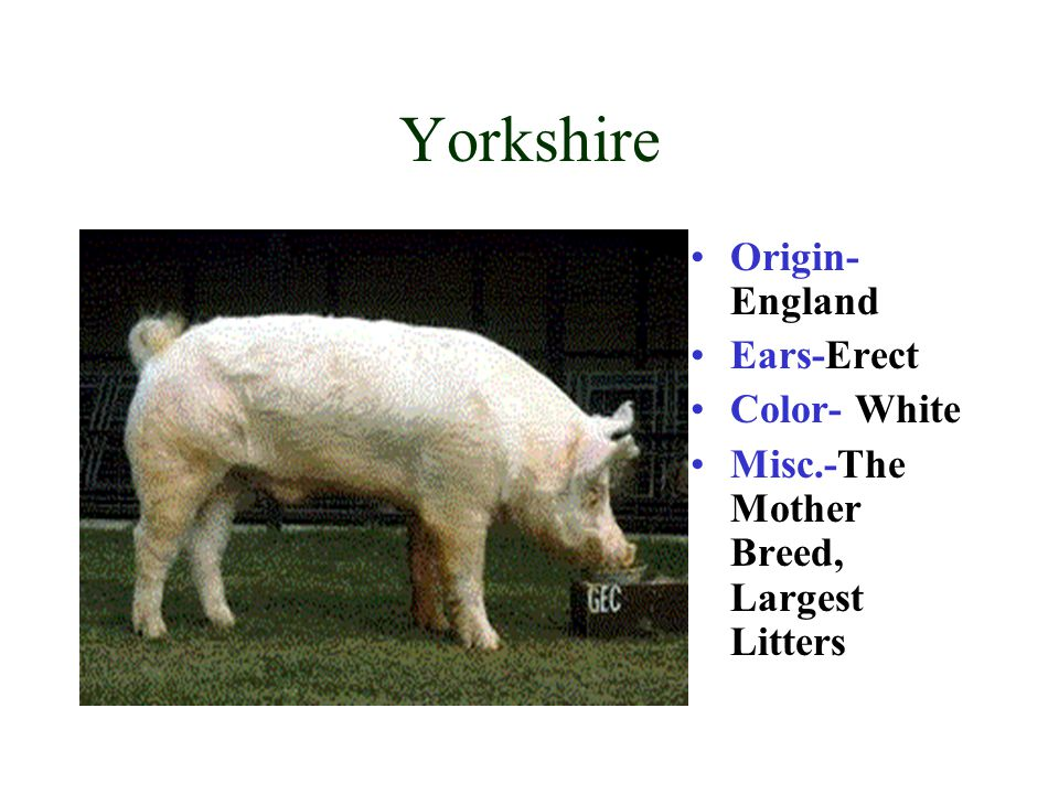 Yorkshire Origin-England Ears-Erect Color- White