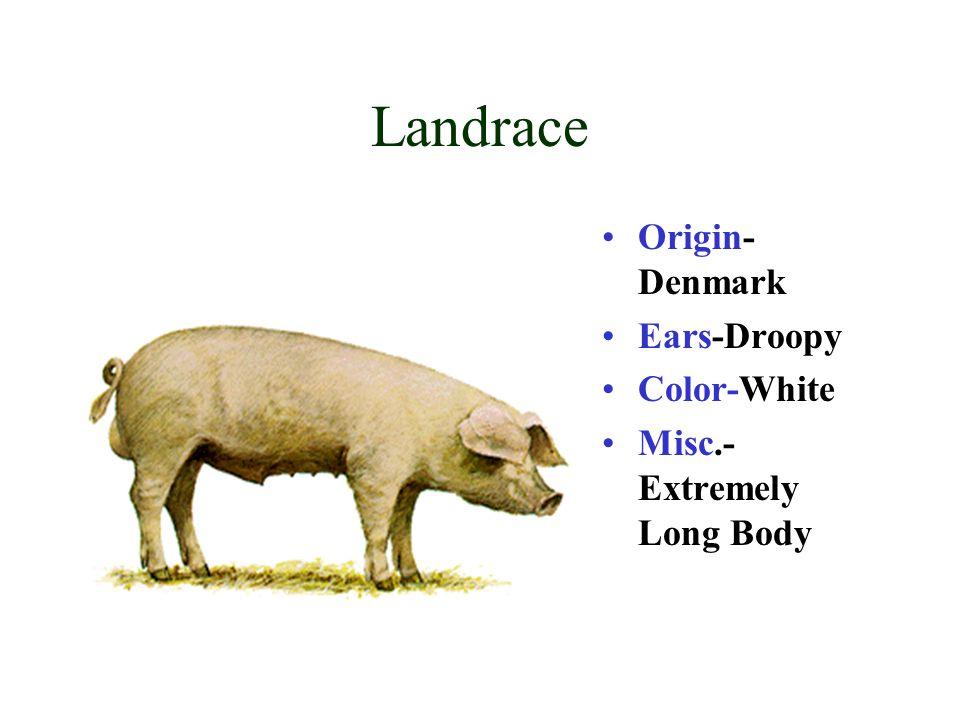 Landrace Origin-Denmark Ears-Droopy Color-White