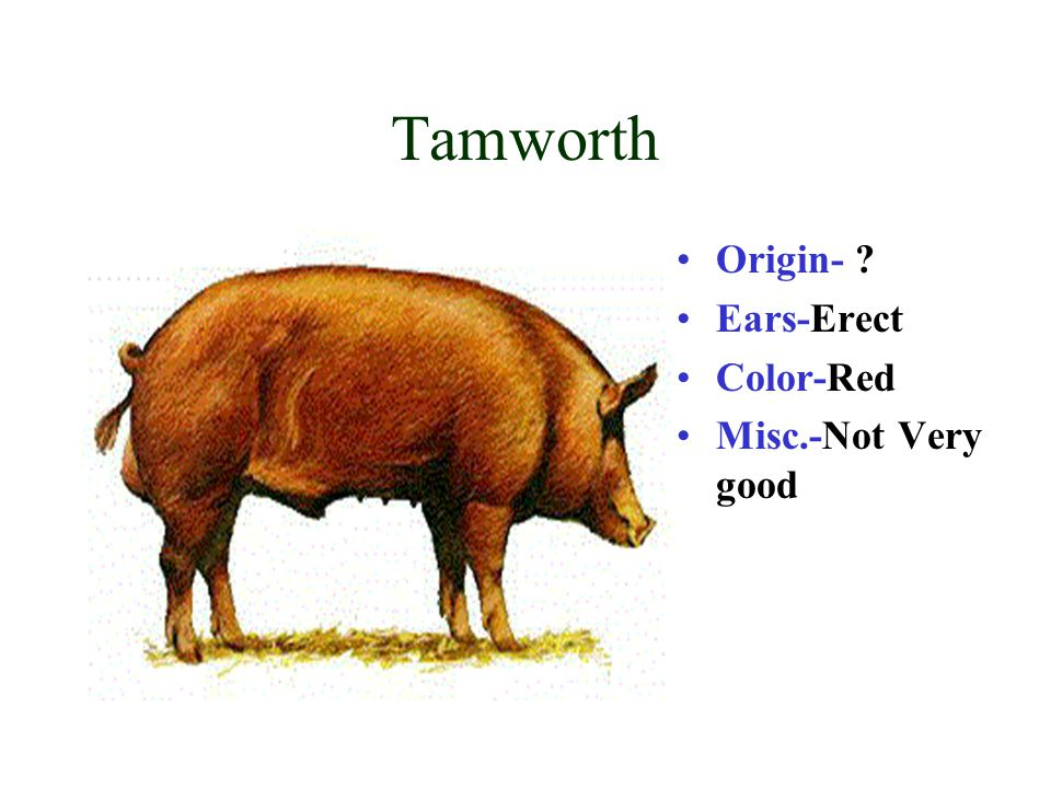 Tamworth Origin- Ears-Erect Color-Red Misc.-Not Very good