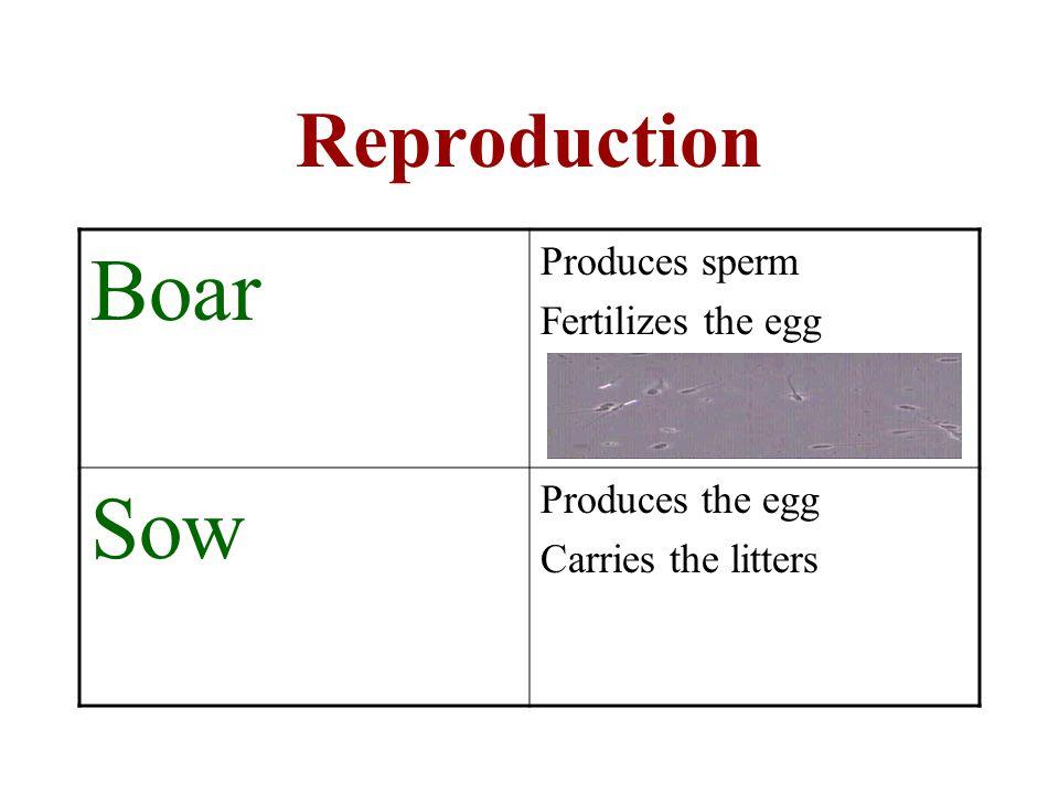 Boar Sow Reproduction Produces sperm Fertilizes the egg