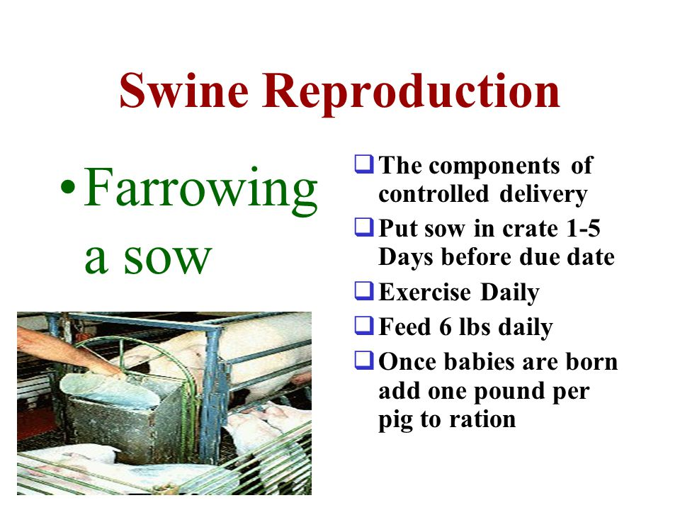 Farrowing a sow Swine Reproduction