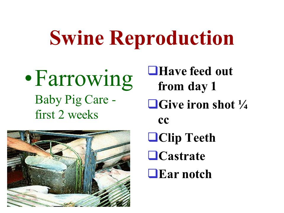 Farrowing Baby Pig Care - first 2 weeks