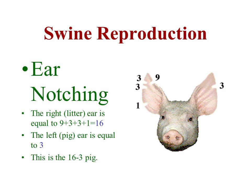 Ear Notching Swine Reproduction
