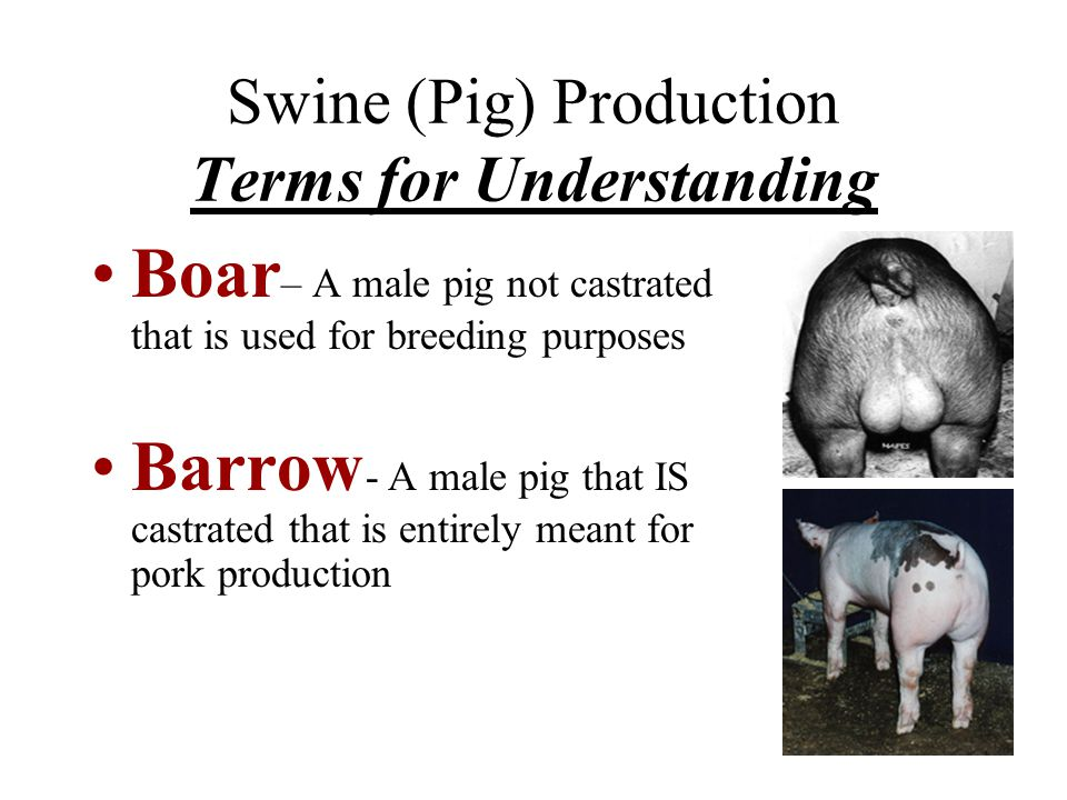 Swine (Pig) Production Terms for Understanding