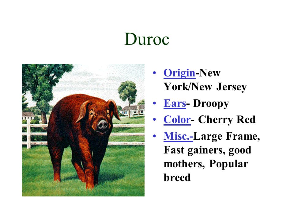 Duroc Origin-New York/New Jersey Ears- Droopy Color- Cherry Red