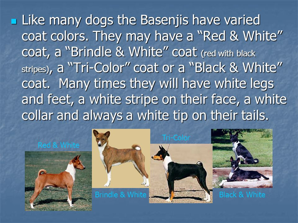 Like many dogs the Basenjis have varied coat colors